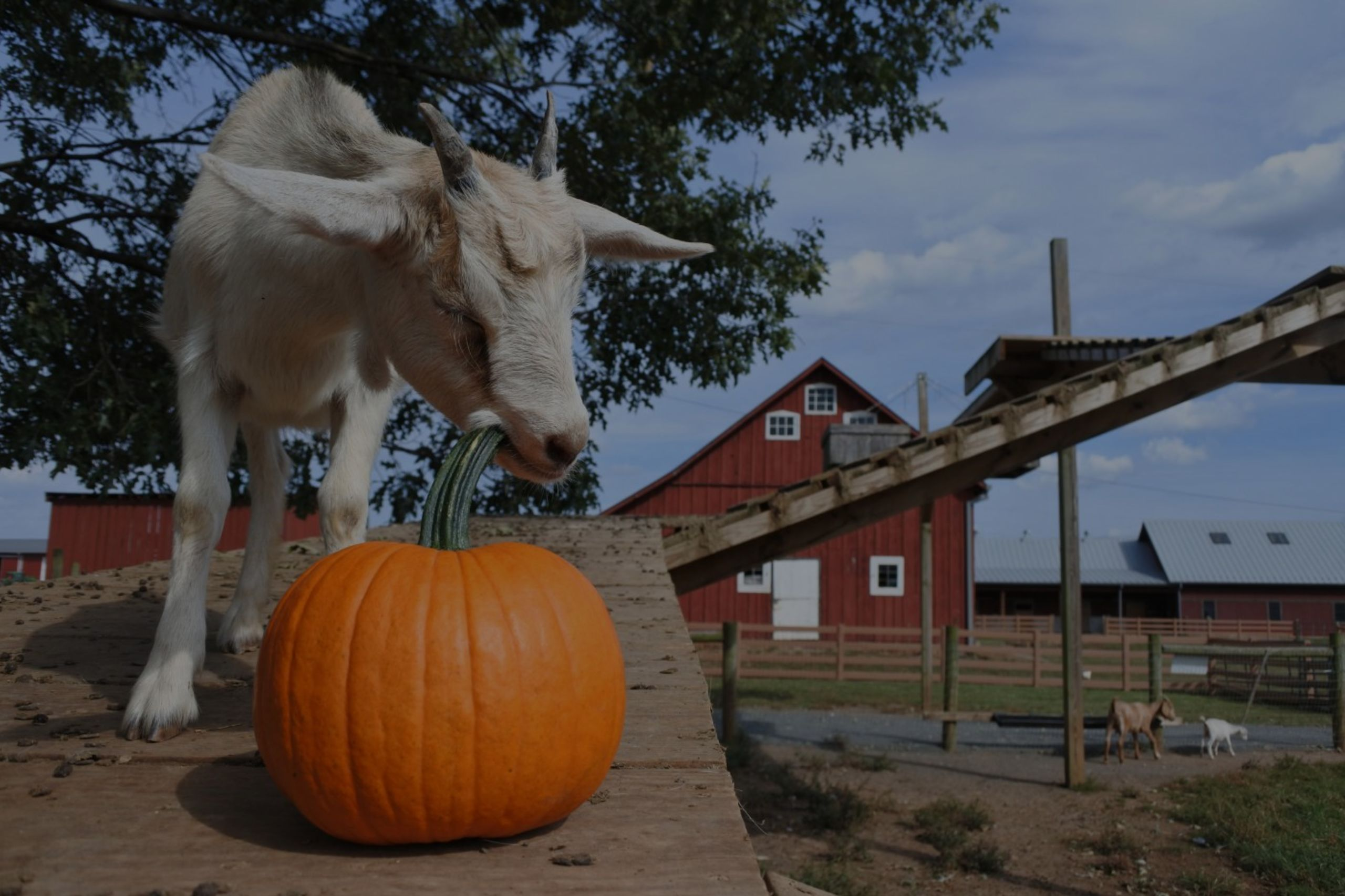 Where to Find Corn Mazes, Pumpkins & Fall Farm Fun in Loudoun, VA