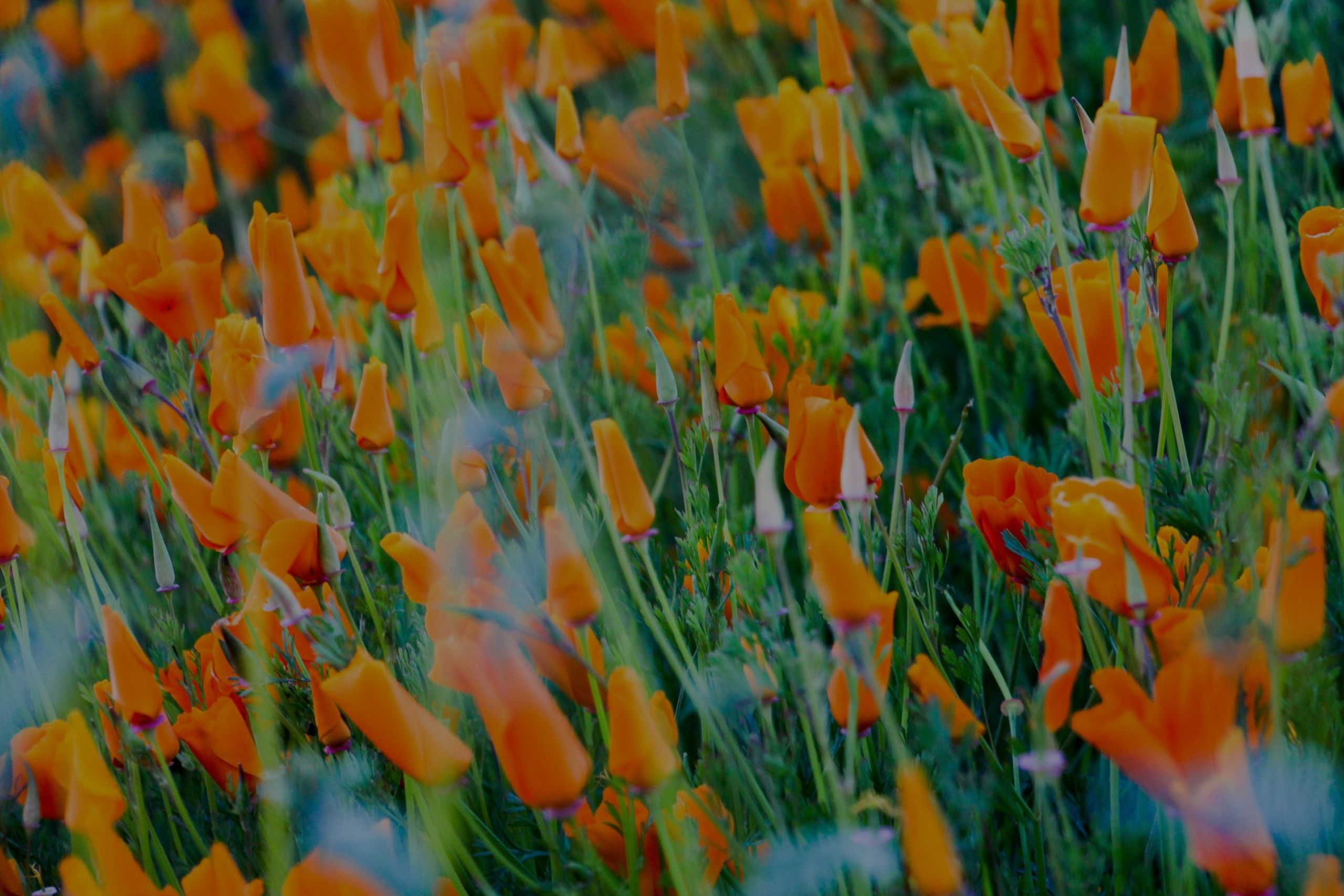 Superbloom: Los Angeles and Inland Valley Updates