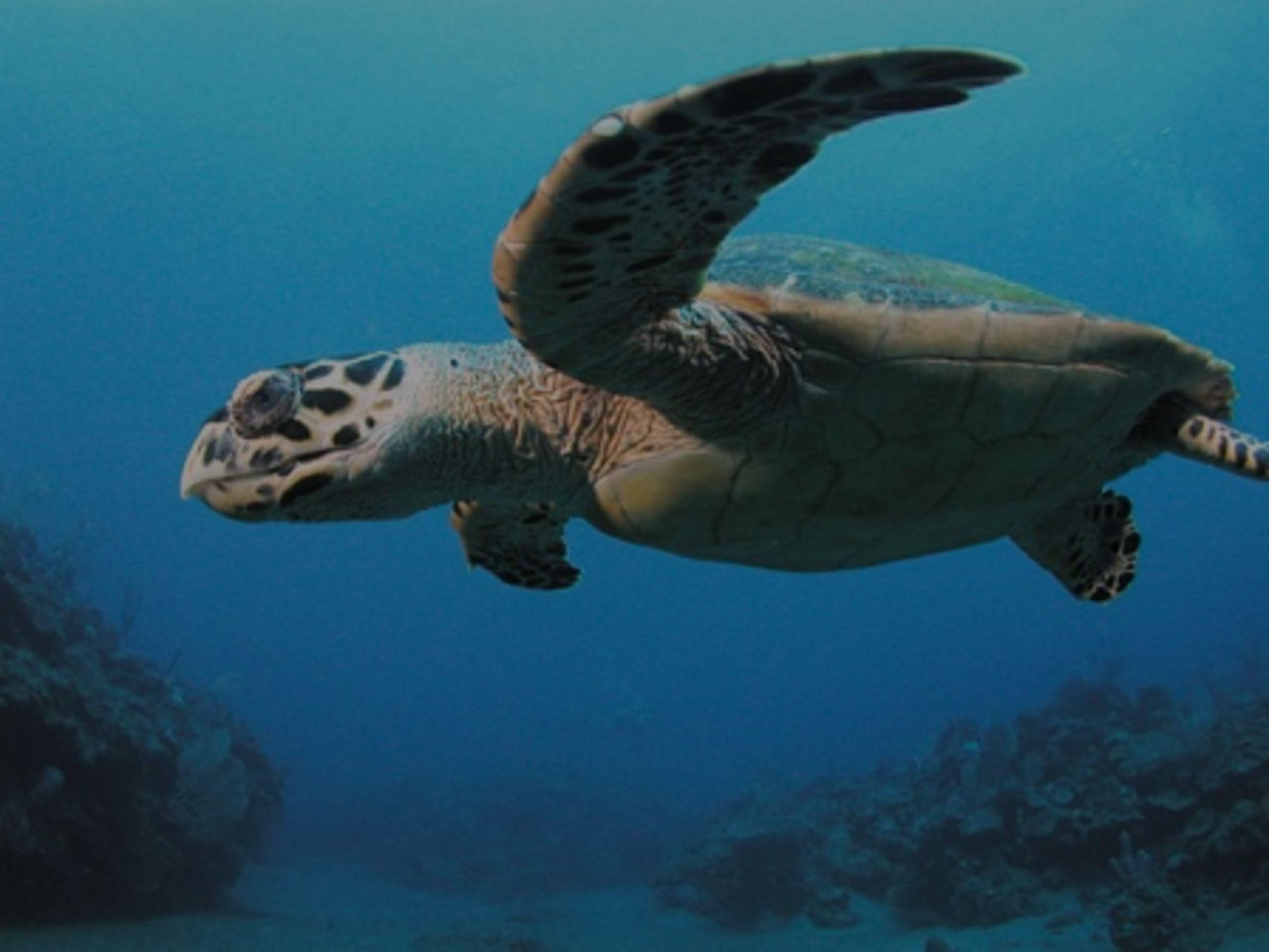 Alabama Gulf Coast Sea Turtles