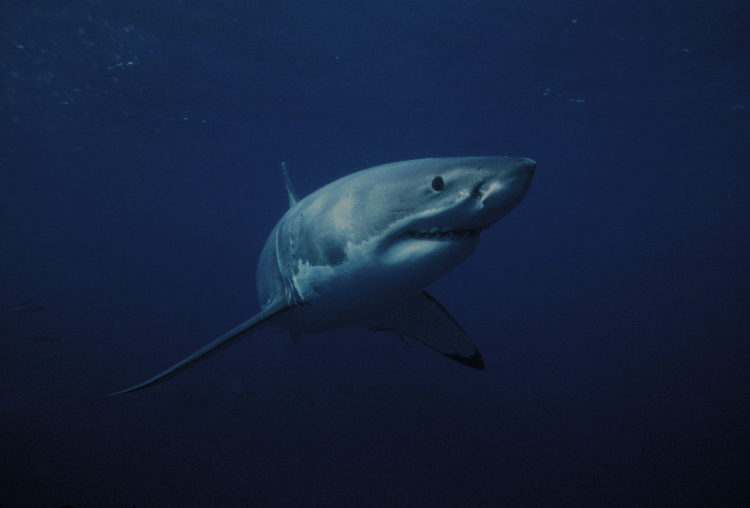 Great White Shark siting off shore of Jupiter