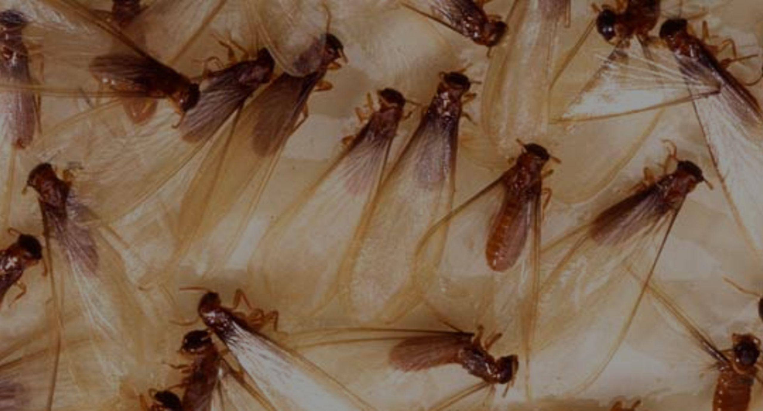 Termites Swarm into Kansas City