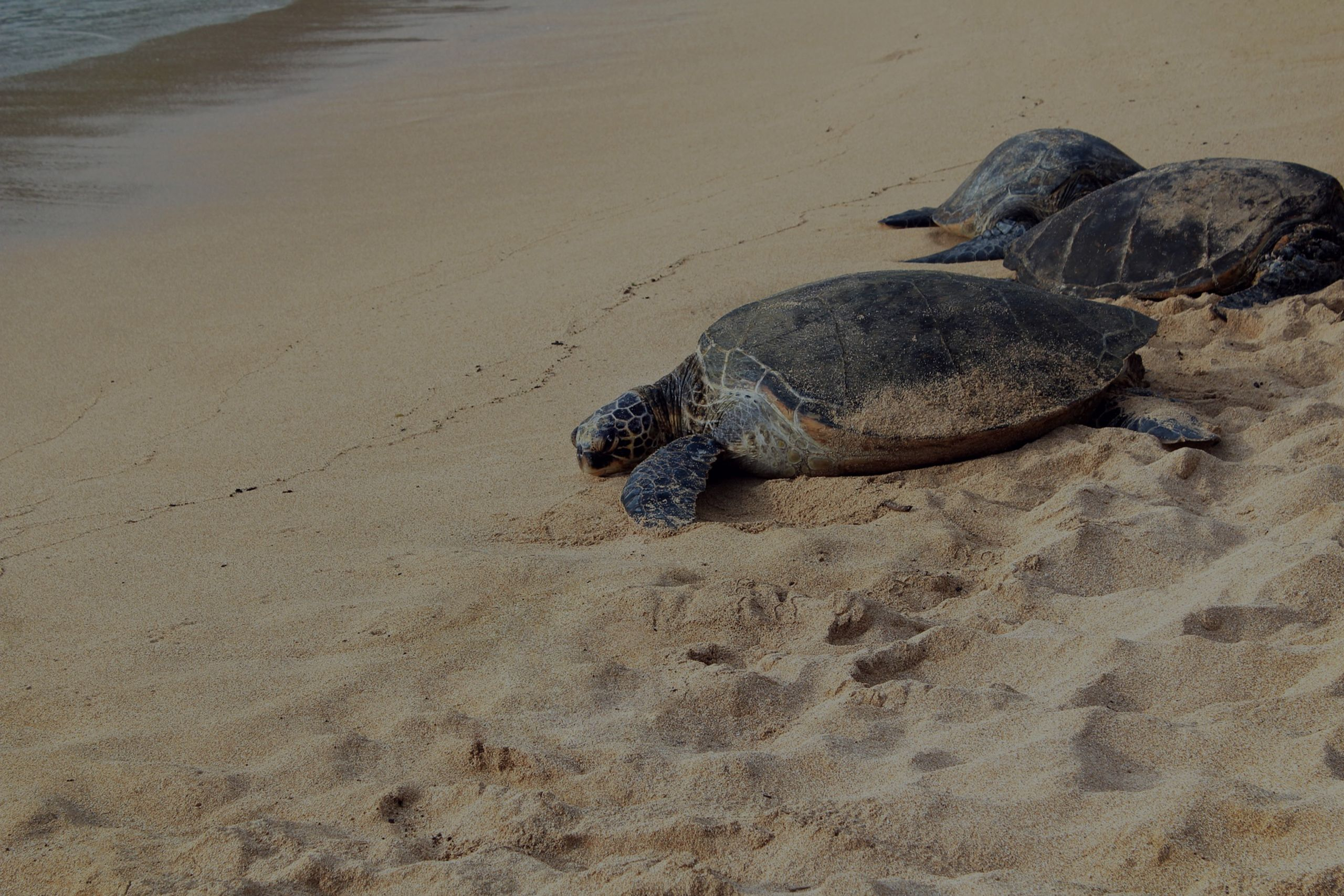 Sea Turtle Nesting Season – Daytona Beach