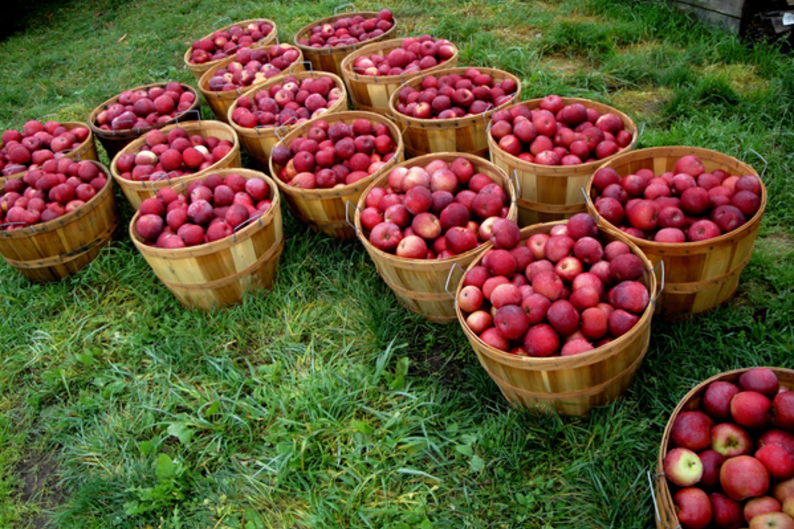Fresh, Crisp Vermont Apples
