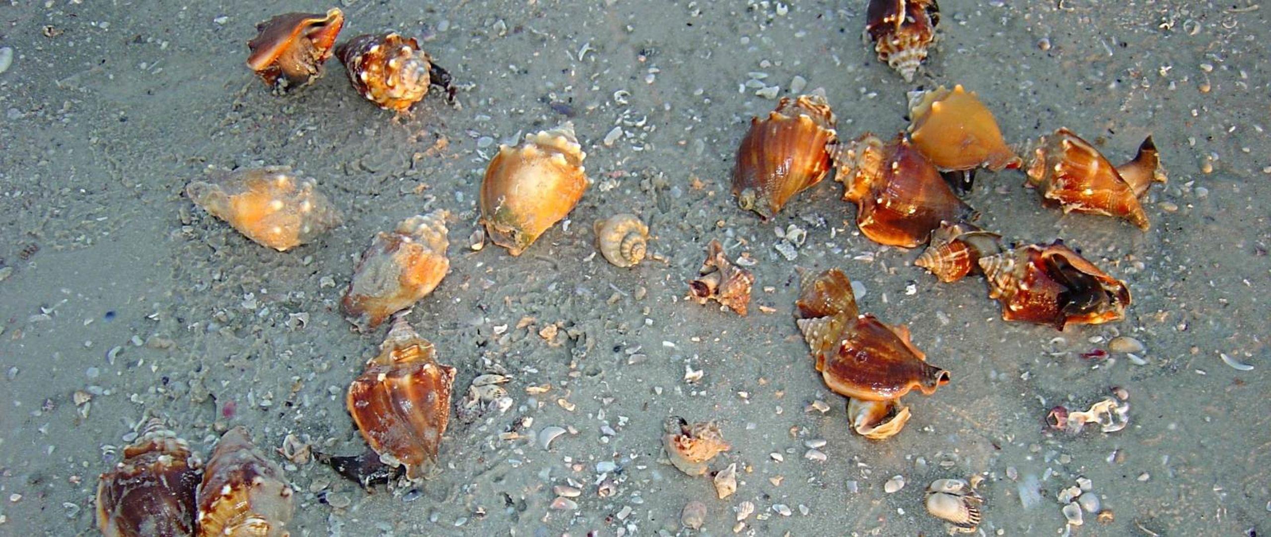 Sanibel Island Conch