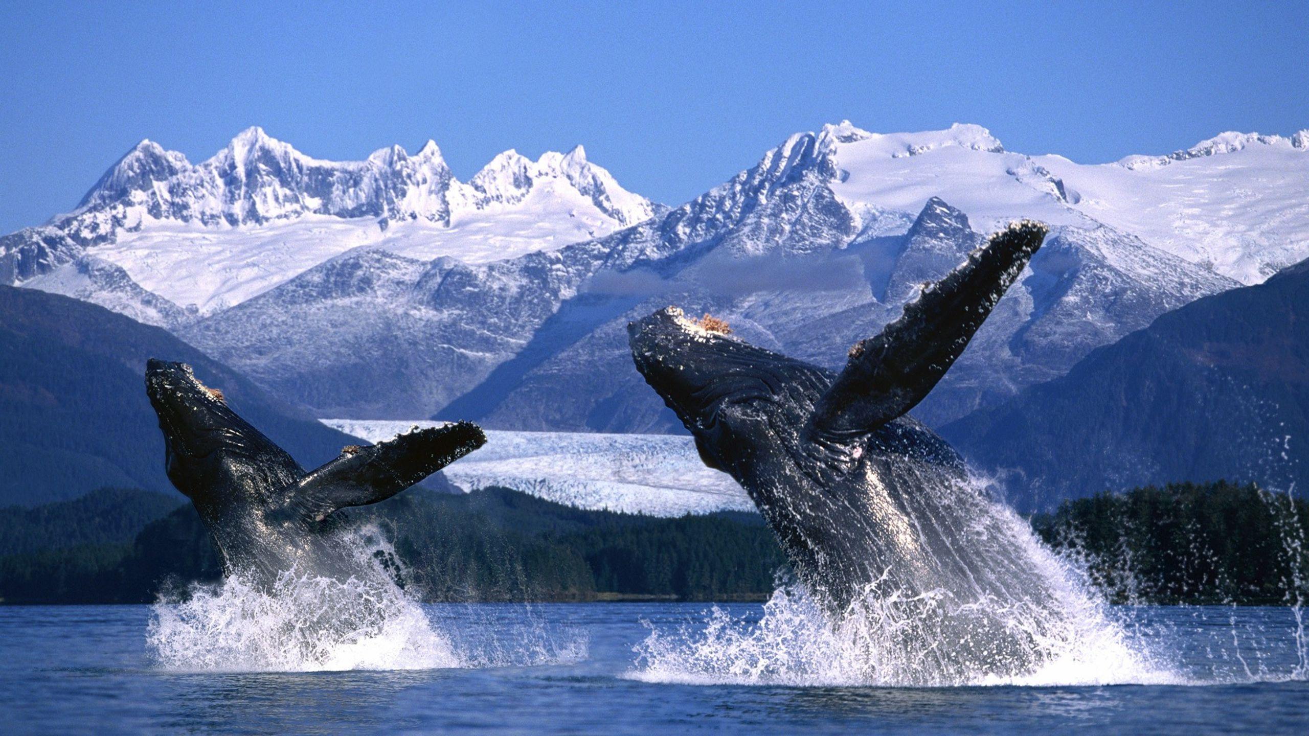 Humpback Whales, Alaska