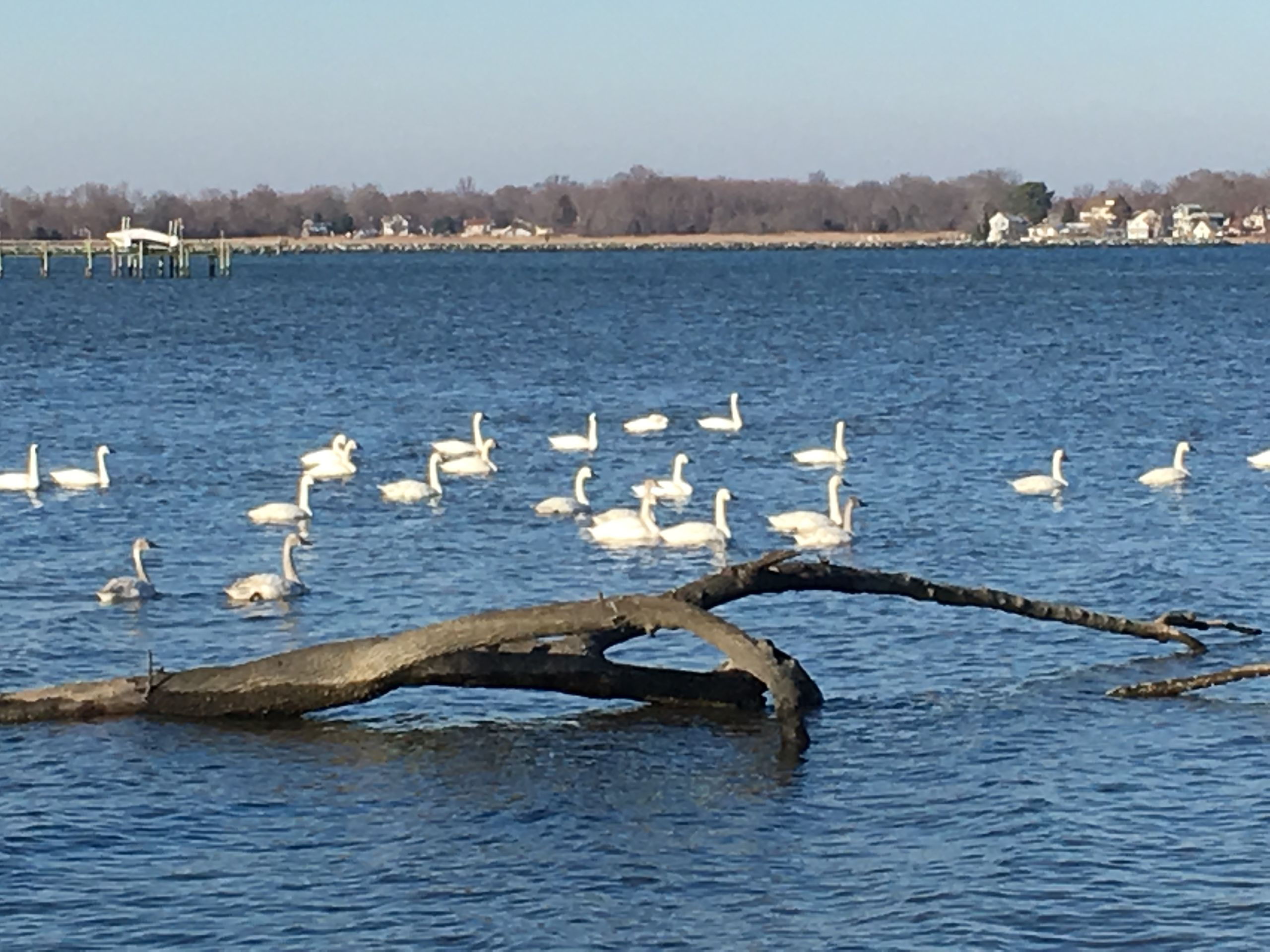 Tundra Swans on Chesapeake Bay