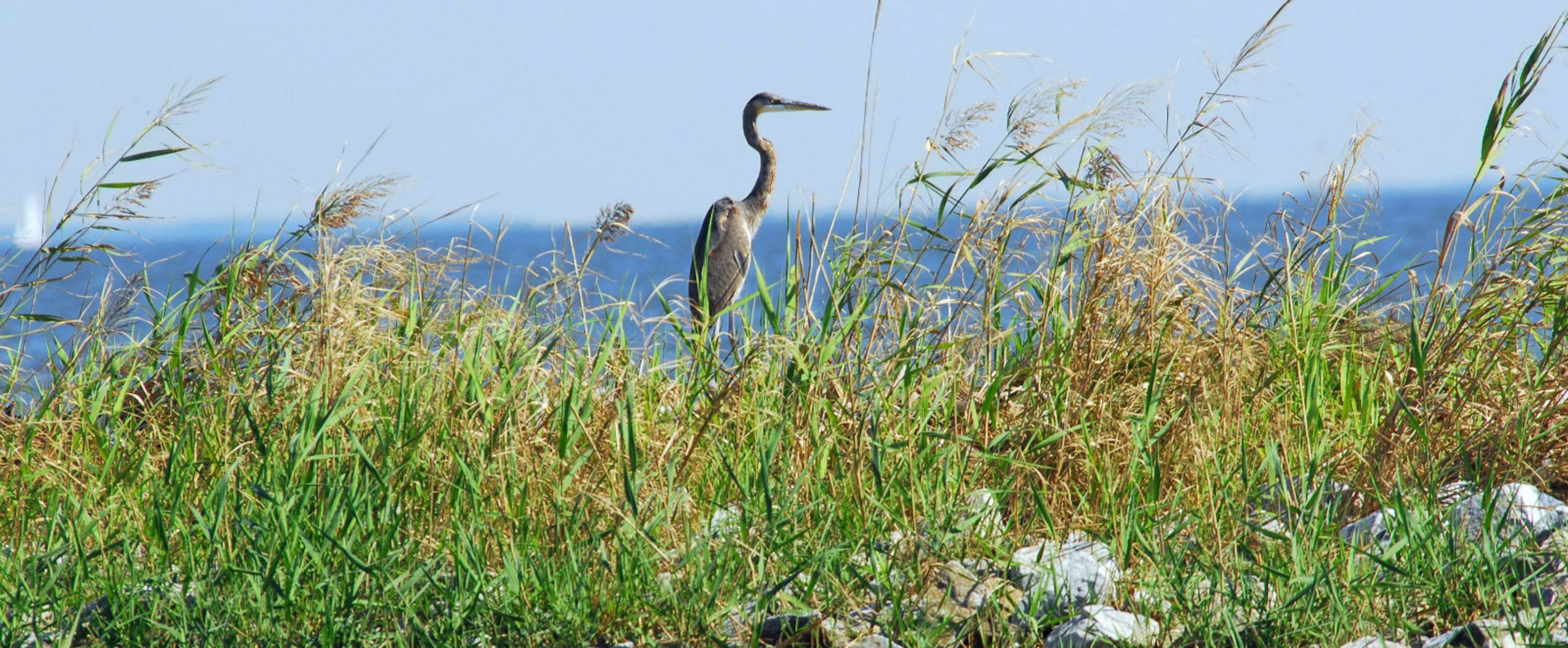 Blue Heron on Chesapeake Bay