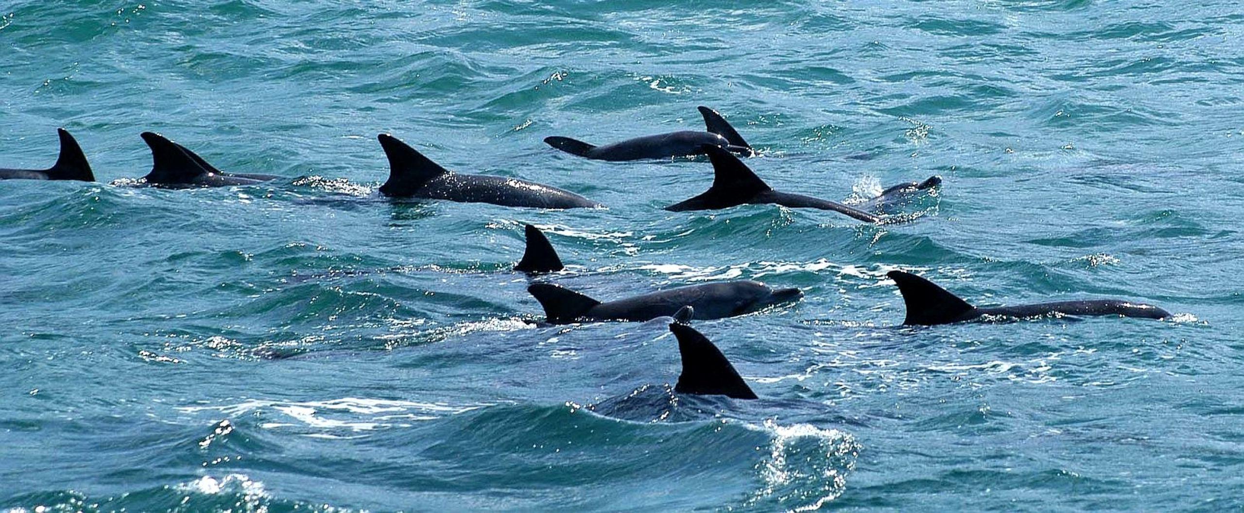 Bottlenose dolphins swimming off the brevard county shoreline