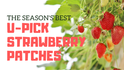 The Season's Best U-Pick Strawberry Patches
