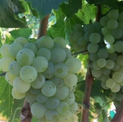 Grenache Blanc~ for Wine Geeks!