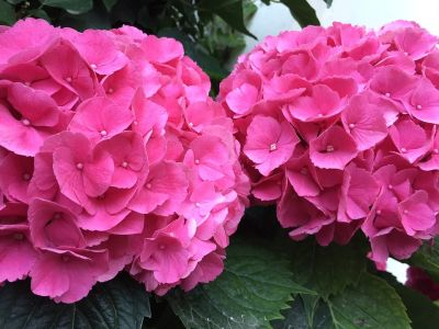 Hydrangea – Beautiful, colorful shrubs!