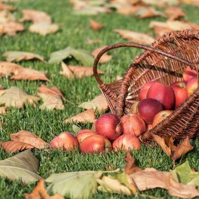 Apple Picking Season is Here!
