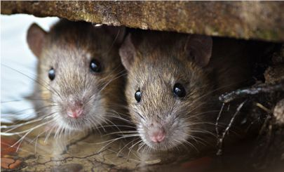 COVID CAUSES UNUSUAL SPIKE IN PEST CONTROL