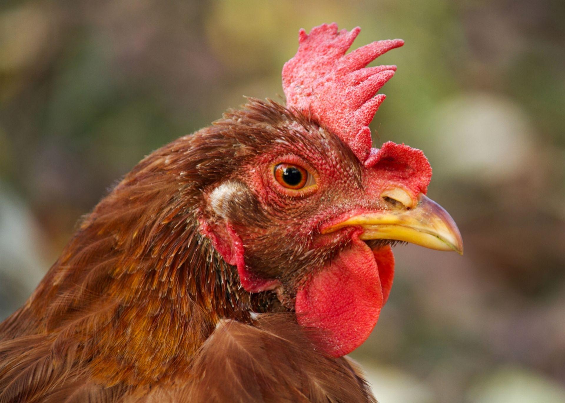 Chicken Chat with Karen
