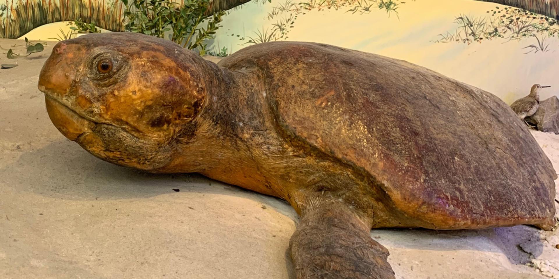 Today Starts Turtle Nesting Season in Volusia County | Daytona Oceanfront