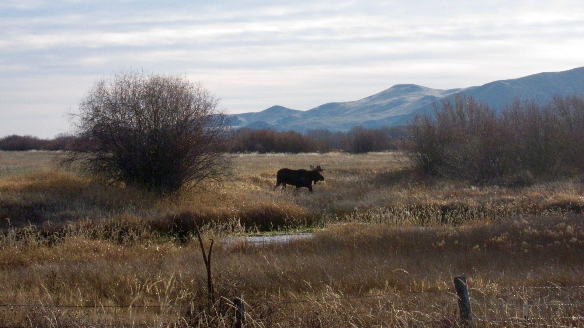Moose at Silver Creek Preserve