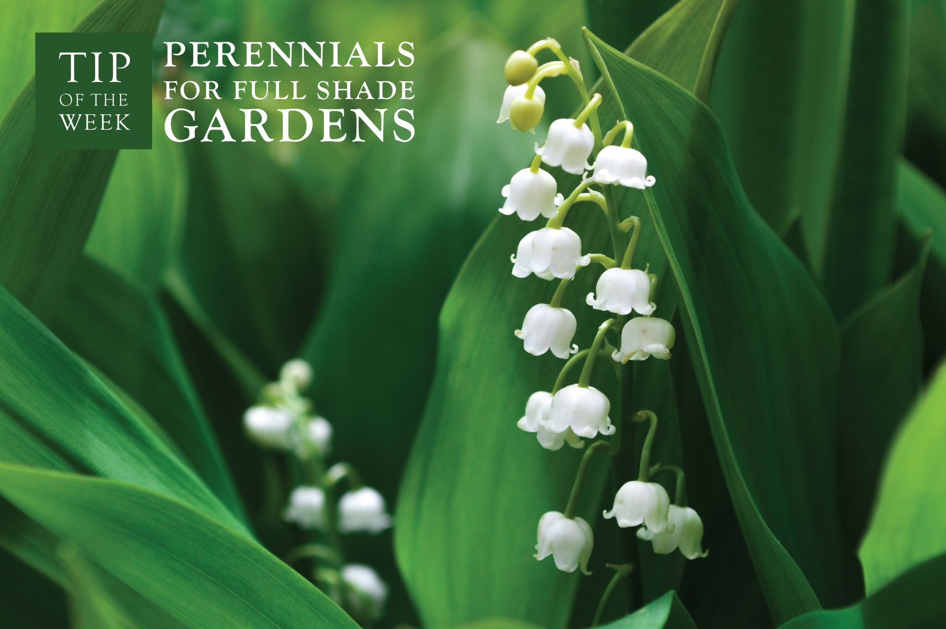 Perennials for Full Shade Gardens