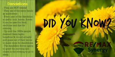 DID YOU KNOW? – Dandelions –