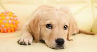 Carpet Cleaning 101 for Pet Owners