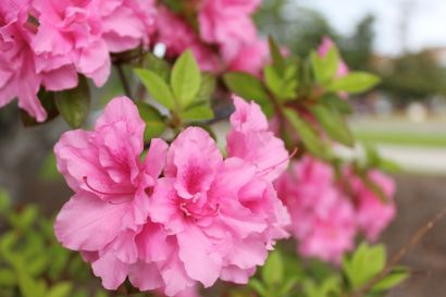 'Plant an Azalea' in New Hanover County Parks to help kick off this year's festival