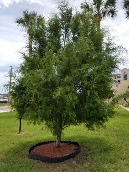 Gardening: Adding a tree to your Florida landscape? Southern redcedar is a great option